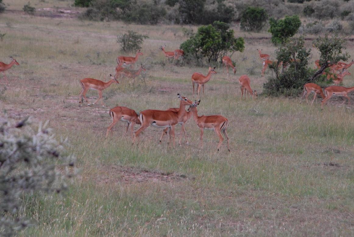 Maasai Mara, impale