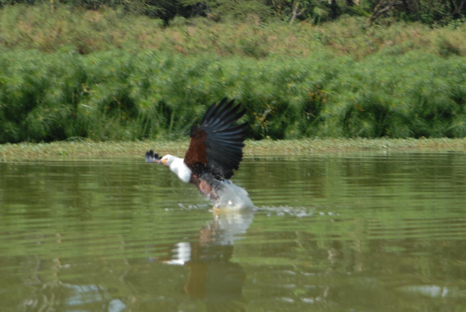 Jezero Naivasha, fish eagle lovi ribu