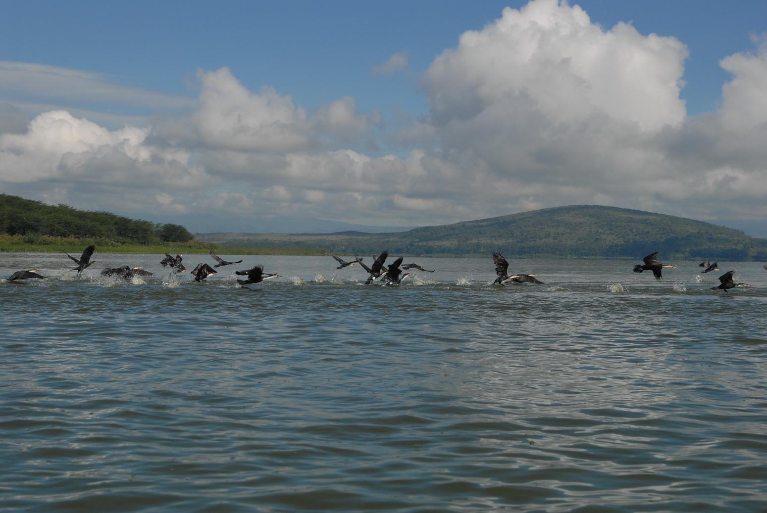 Jezero Naivasha, kormorani
