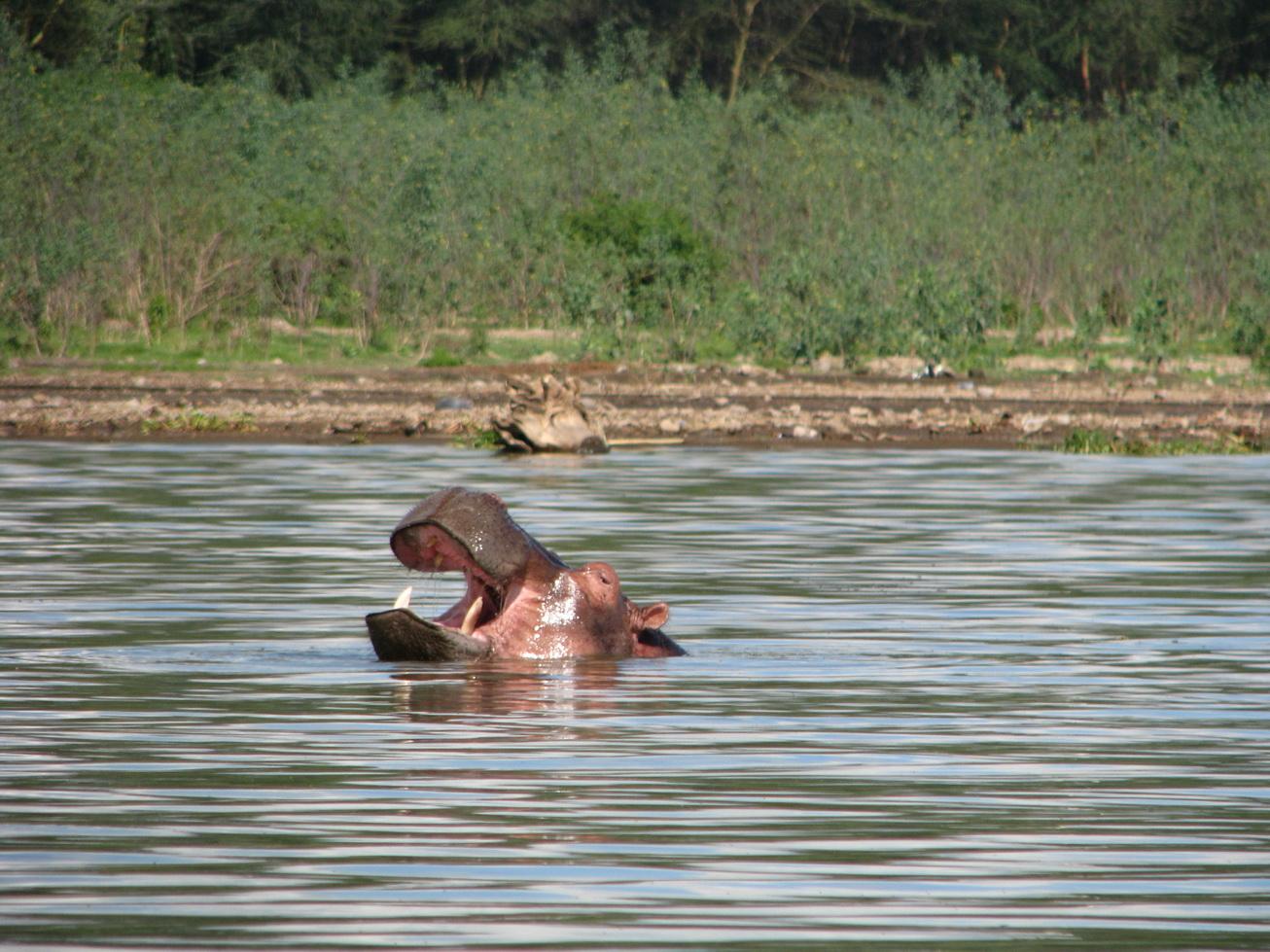 Jezero Naivasha, hippo