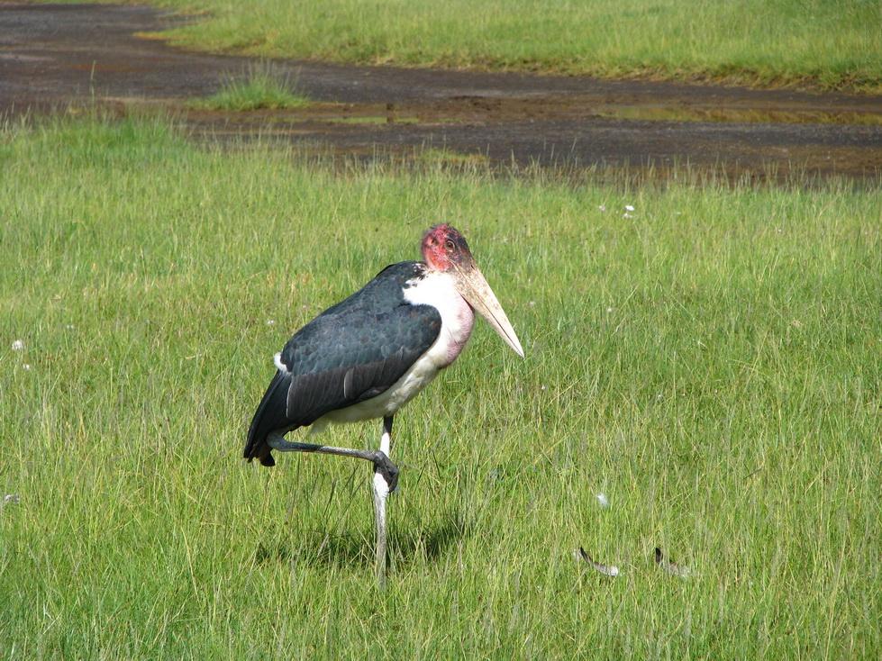 Jezero Nakuru, marabu