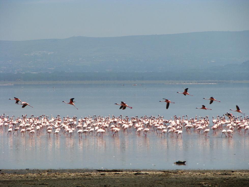 Jezero Nakuru, flamingosi