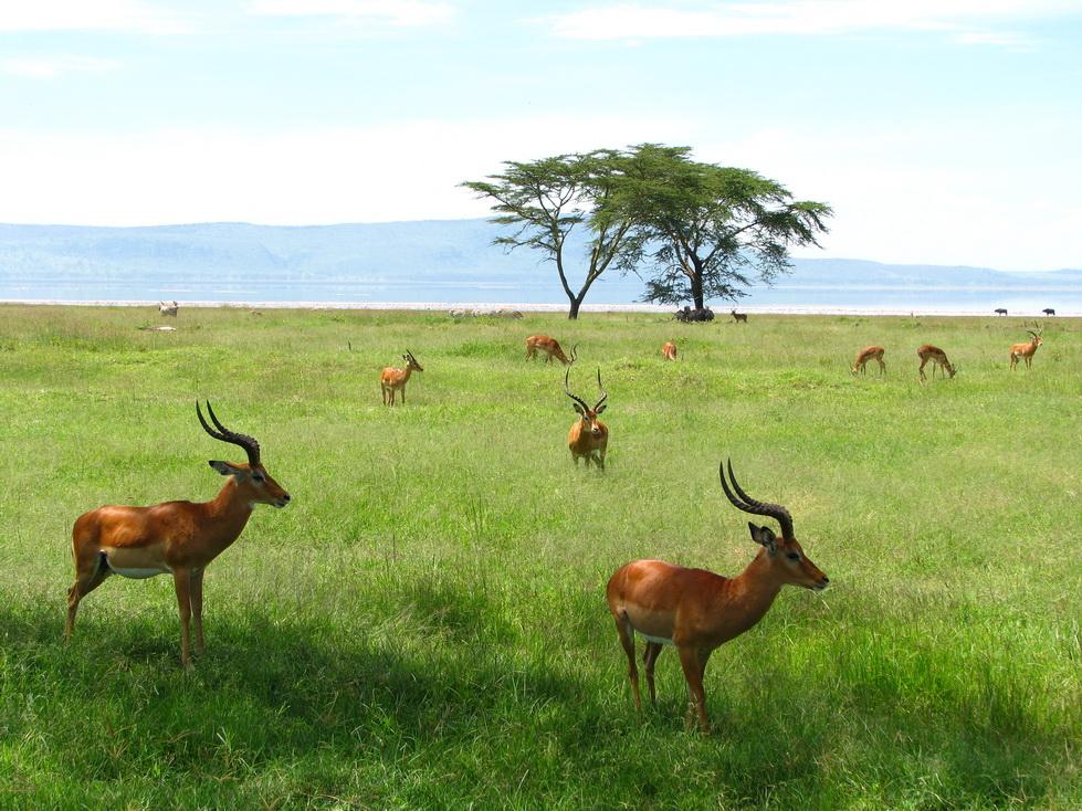Nakuru, Grant gazele
