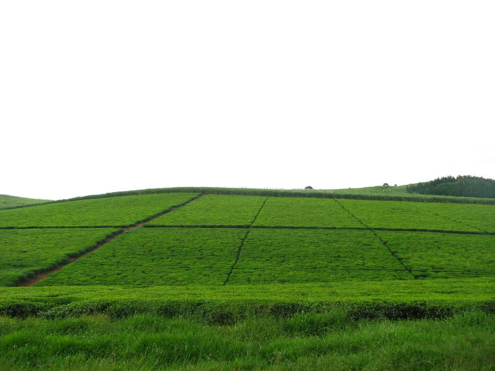 Plantaže čaja, zapadna Kenija