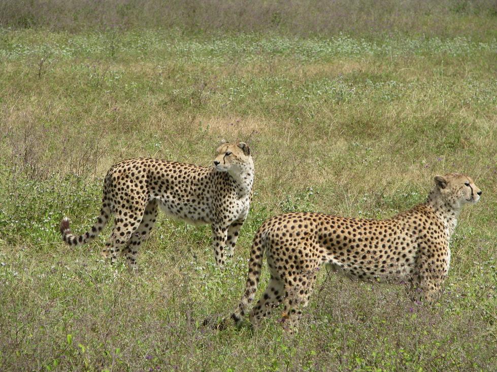 Ngorongoro, gepard
