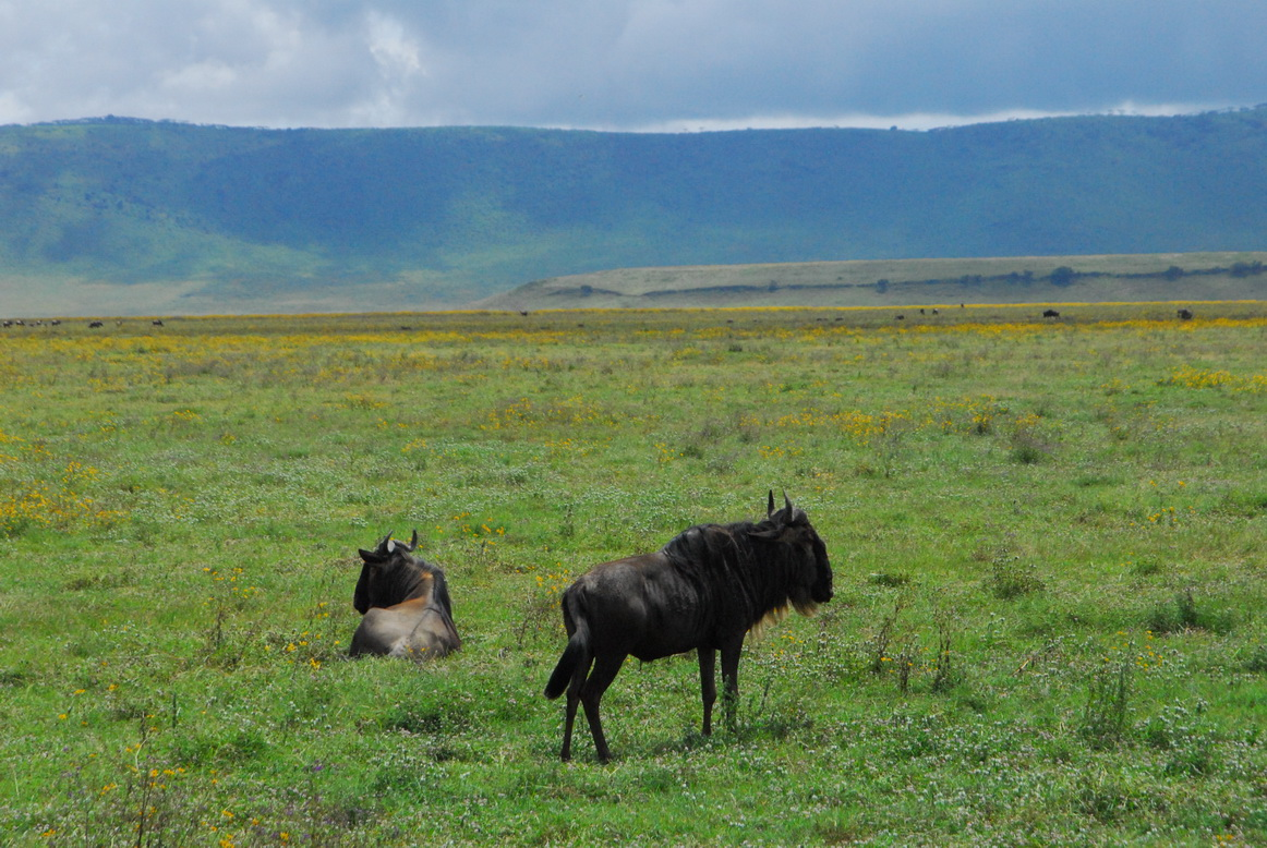 Plavi gnu, Ngorongoro krater