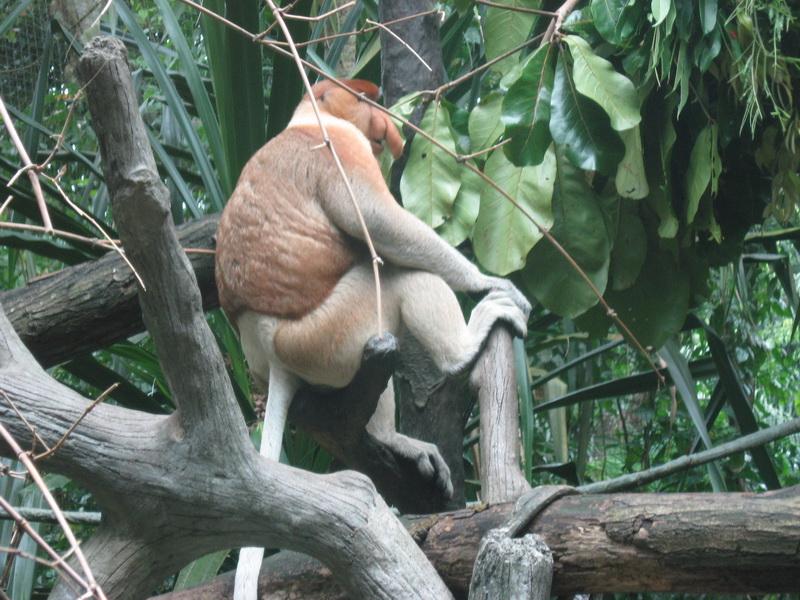 Singapore Zoo, Proboscis majmun 3