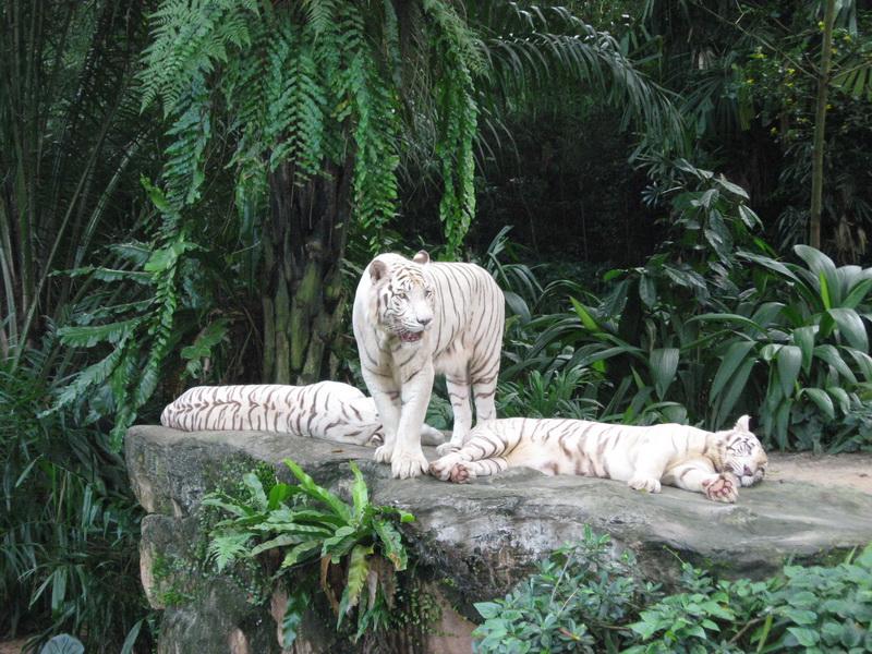 Singapore Zoo, bijeli tigar 1