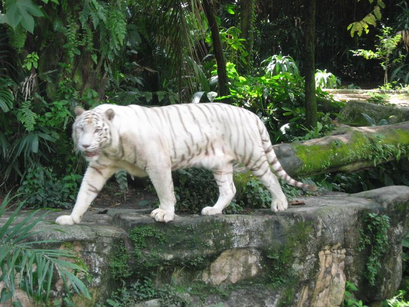 Singapore Zoo, bijeli tigar 3
